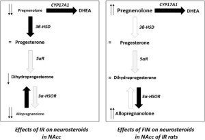 Synoptic schematization of the observed effects of isolation rearing (IR) and finasteride (FIN) on neurosteroid levels in the nucleus accumbens (NAcc). Black and white arrows represent increased and decreased enzyme activities, respectively. CYP17A1, 17-hydroxylase/17,20 lyase; 3β-HSD, 3β-hydroxysteroid dehydrogenase; 5αR, 5α-reductase; 3α-HSOR, 3α-hydroxysteroid oxidoreductase; DHEA, dehydroepiandrosterone